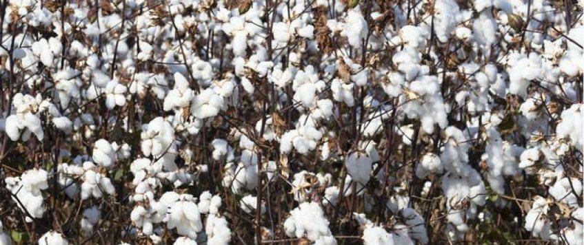 乌兹别克斯坦棉花产业自由化的目的何在?